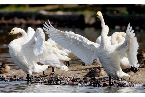 白鳥が全国各地に飛来