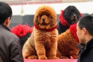 1匹1億円の犬チベタン・マスチフ博覧会