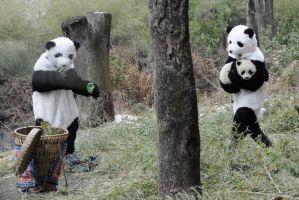 着ぐるみパンダが子パンダの世話(四川省)