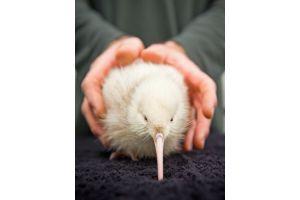 人口ふ化では初の白いキウイ誕生