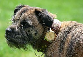 犬にロレックスの首輪(33万円)