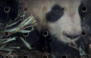 パンダ2頭が中国から仏に到着