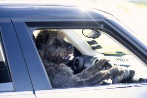 特訓で犬が車の運転に成功